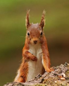 red squirrel yorkshire dales
