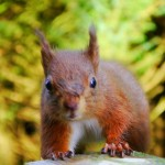 Red Squirrel at Snaizeholme Nature Reserve by John Wood, Earby, Lancashire
